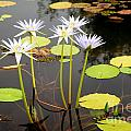Water Lilies by Karin Stein