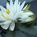 Water Lilies  by Kathy Anderson