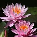 Water Lilies Love The Sun by Sabrina L Ryan