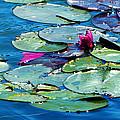 Water Lilies by Monique Morin Matson