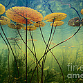 Water Lilies by Frans Lanting MINT Images