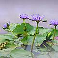 Water Lilies Of Vietnam by IM Spadecaller