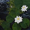 Water Lilies by Virginia McLaren
