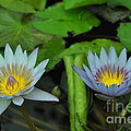 Water Lilies  1 by Allen Beatty