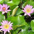 Water Lilies 3 by Allen Beatty