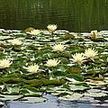 Water Lillies by Barbara Fonseca