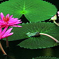 Water Lillies In Pink by Laurel Talabere