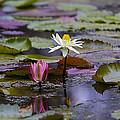Water Lillies9 by Charles Warren