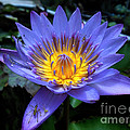 Water Lilly by Art Martinez