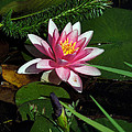 Water Lilly by Don Wright