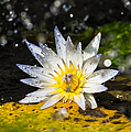Water Lily 1 by Scott Carruthers