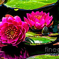 Water Lily 2014-12 by Nick Zelinsky