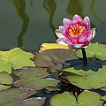 Water Lily 3 by David Lester