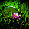 Water Lily 3 by Sherman Perry