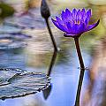 Water Lily 6 by Scott Campbell
