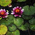 Water Lily Acanthius by David Lange