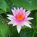 Water Lily by Aimee L Maher ALM GALLERY