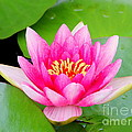 Water Lily by Amanda Mohler