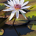 Water Lily And Lily Pads In A Pond by Brandon Alms