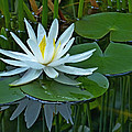 Water Lily And Reflection by Pete Trenholm