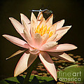 Water Lily And The Blue Dragonfly by Sabrina L Ryan