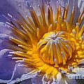 Water Lily by Anthony Totah