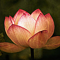 Water Lily by Ben Bassey