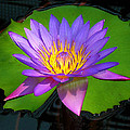 Water Lily by Ben Lavitt