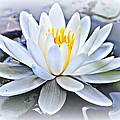 Water Lily by Beth Vincent