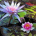 Water-lily by Bill Brown