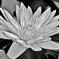 Water Lily - Black And White by Kim Bemis