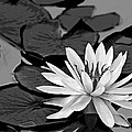 Water Lily Black And White by Phyllis Denton