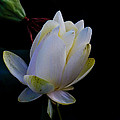 Water Lily Blossom In Shadows by Harold Hopkins