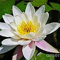 Water Lily Blossom by Sherman Perry