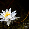Water Lily by Cheryl Baxter
