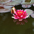 Water Lily by Chris Day