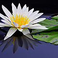 Water Lily by Dan Myers