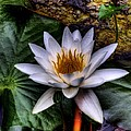 Water Lily by David Patterson