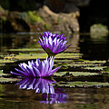 Water Lily  by Debby Richards