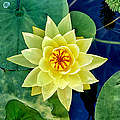 Yellow Water Lily by Fabrizio Troiani