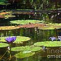 Water Lily Garden 2 by Jennifer Lavigne