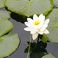 Water Lily I I by Jim Smith