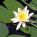 Water Lily I I I by Jim Smith