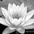 Water Lily In Black And White by Sabrina L Ryan