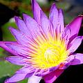Water Lily In Purple by Laurel Talabere