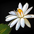 Water Lily by Jerry Gammon