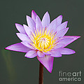 Water Lily by Luis Alvarenga