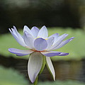 Water Lily by Lynn England