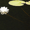 Water Lily by Mary Carol Story