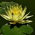 Water Lily by Michael Gordon